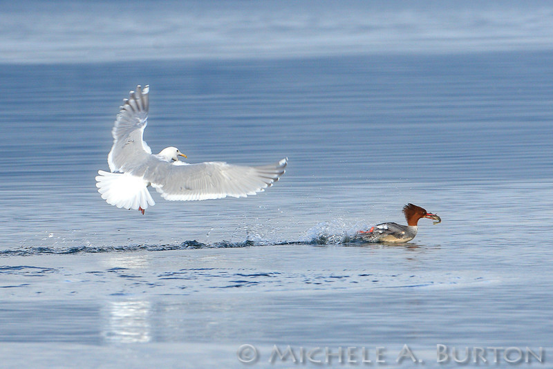Glaucous-winged Gull in pursuit of a female Common Merganser - attempting to steal her fish