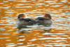 A pair of female Hooded Mergansers at Capitol Lake