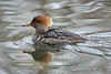 female Hooded merganser on the pond at Nisqually National Wildlife Refuge