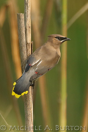 Cedar Waxwing on Cattail Reed