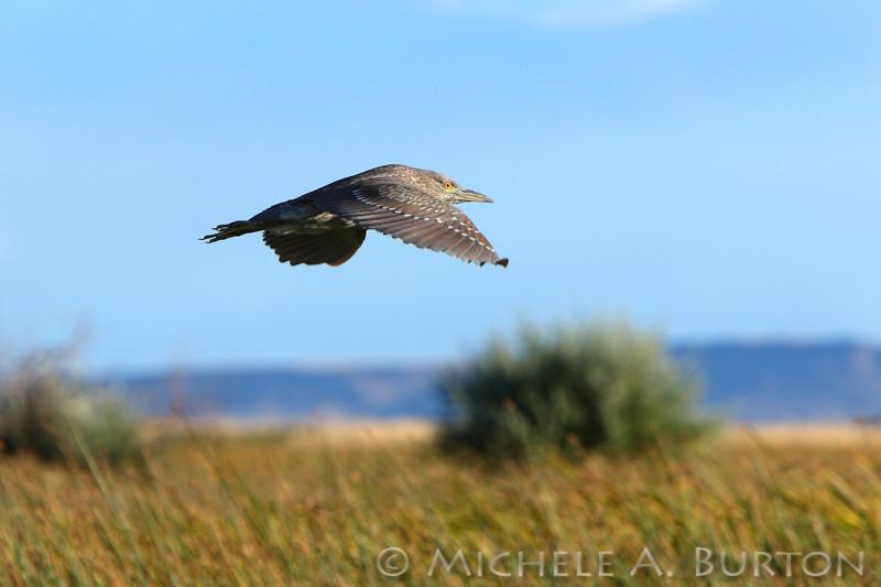Juvenile Black-crowned Night-Heron <br /> Malheur National Wildlife Refuge<br /> Oregon