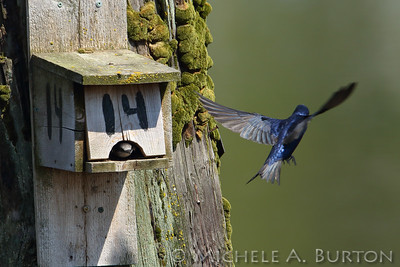 Purple martins at nesting boxes. East Bay, Olympia