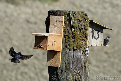 Male Purple Martin brings a large dragonfly to feed his young. Purple Martins inhabit the nest boxes on Budd Inlet in Olympia from Early April til Mid-August