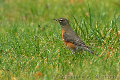 American robin in the wet grass