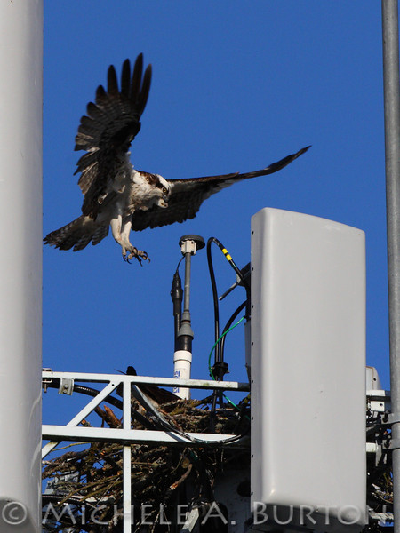 Osprey landing on nest at cell tower<br /> <br /> Lakewood, WA