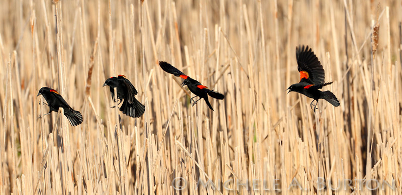Male Red-winged Blackbird<br /> landing on cattail reeds<br /> Agelaius phoeniceus <br /> <br /> Swantown Marina<br /> Port of Olympia<br /> Olympia, WA<br /> <br /> Photo composite of 4 images in sequence