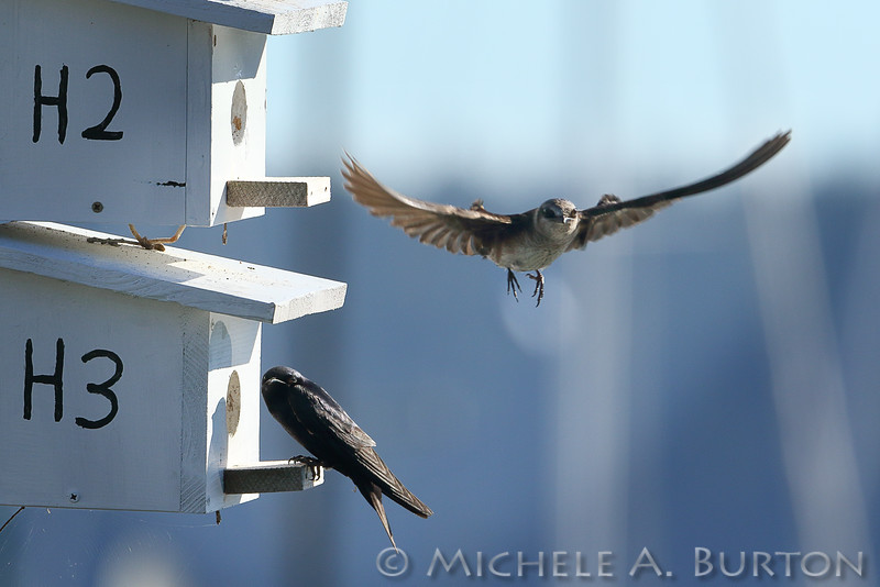 Female Purple martin flies towards its nest box as its mate perches outside the box. <br /> Boston Harbor Marina<br /> July 21, 2016