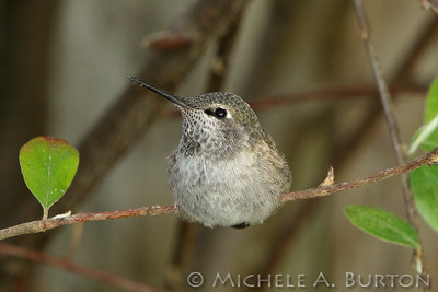 Anna's hummingbird perched on a cotoneaster branch
