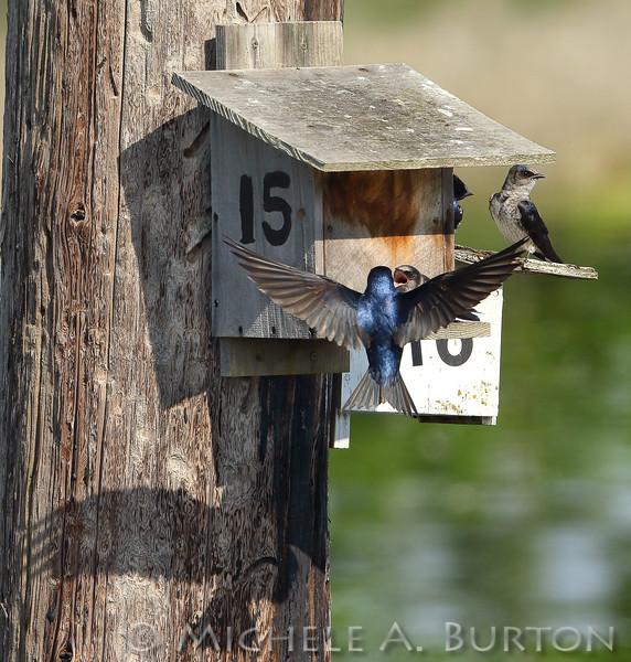 Purple Martins on nesting boxes at Budd Inlet - Olympia, WA