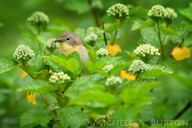 Female Common Yellowthroat Warbler<br /> gathering insects to feed her young <br /> <br /> Black River, WA