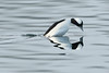 Male bufflehead duck beginning a dive at Budd Inlet on South Puget Sound