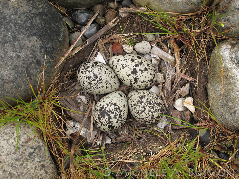 Killdeer Nest with eggs<br /> <br /> Port of Olympia<br /> Olympia, WA
