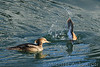 Female Hooded merganser prepares to dive as male finishes his plunge