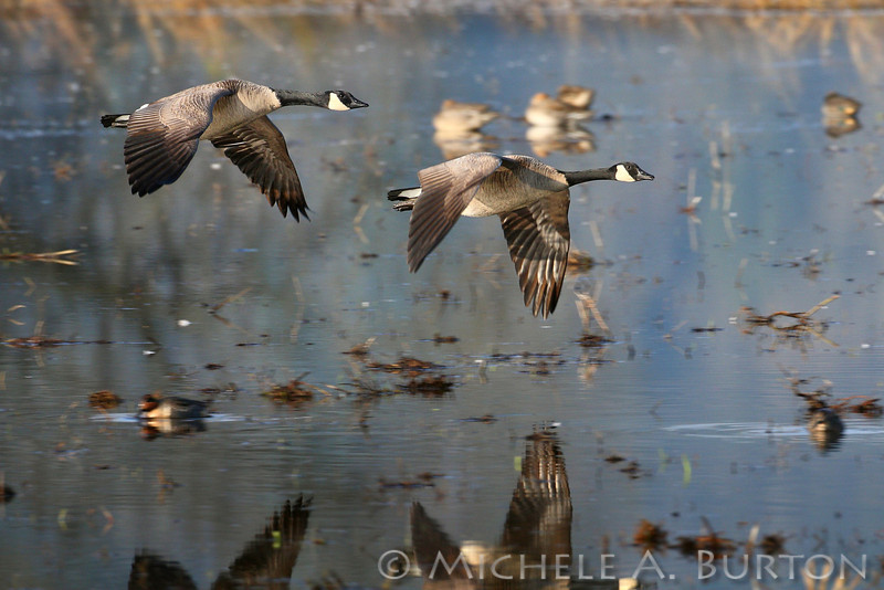 Cackling Geese in Flight<br /> Branta hutchinsii <br /> Nisqually National Wildlife Refuge<br /> Olympia, WA