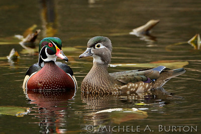 A pair of Wood Ducks posing for their portrait on the pond at Capitol Forest's McLane Creek Nature Trail