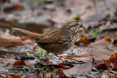Song sparrow rooting in leaf litter, looking for seeds and bugs