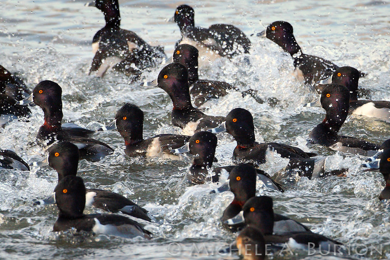 Male Ring-necked Ducks taking flight from Capitol Lake<br /> Aythya collaris