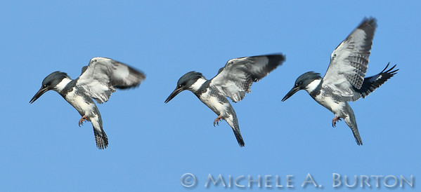 Triptych of Kingfisher hovering over the pond at Titlow Park. Tacoma, WA