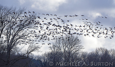 Canada geese fill the skies over Nisqually Refuge