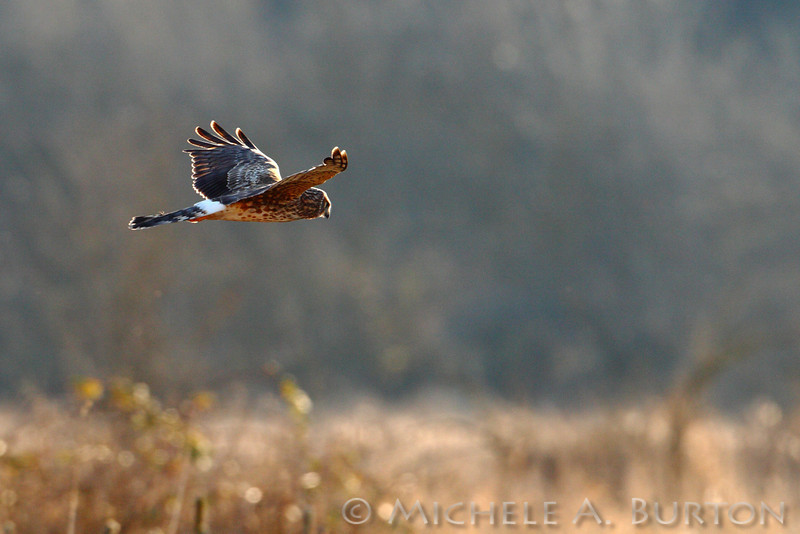 Northern Harrier soaring over the fields at Nisqually National Wildlife Refuge