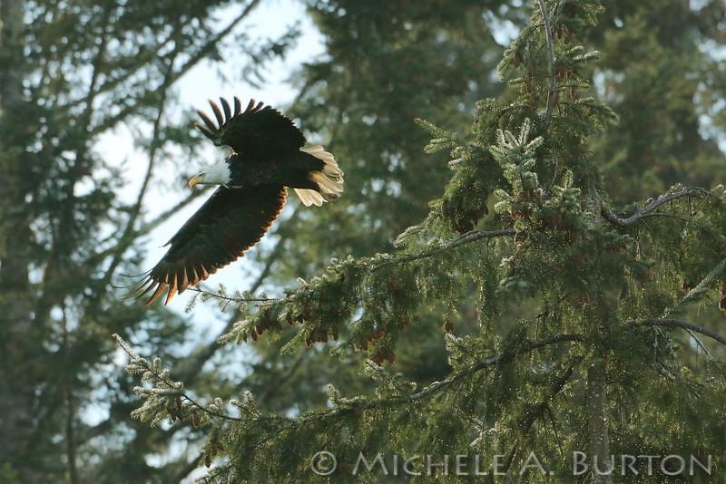Adult Bald Eagle takes flight