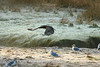 Immature Bald Eagle takes flight from the frosty banks of Perry Creek