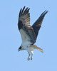 Osprey hovering as it scans for food