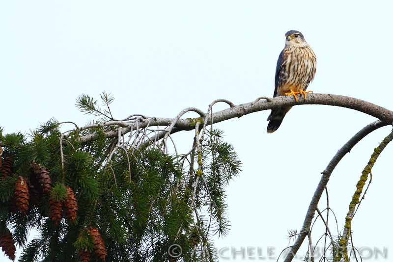 Merlin at Nisqually Refuge