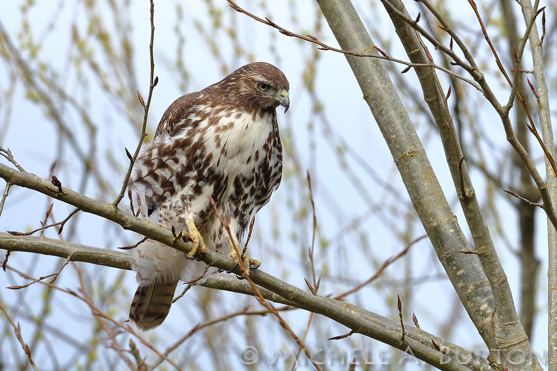 Red-tailed hawk searching for food at Nisqually Refuge