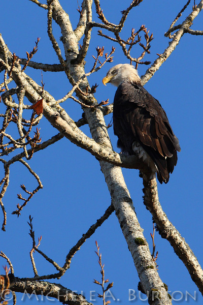 Mature Bald Eagle in Cottonwood Tree at Nisqually National Wildlife Refuge