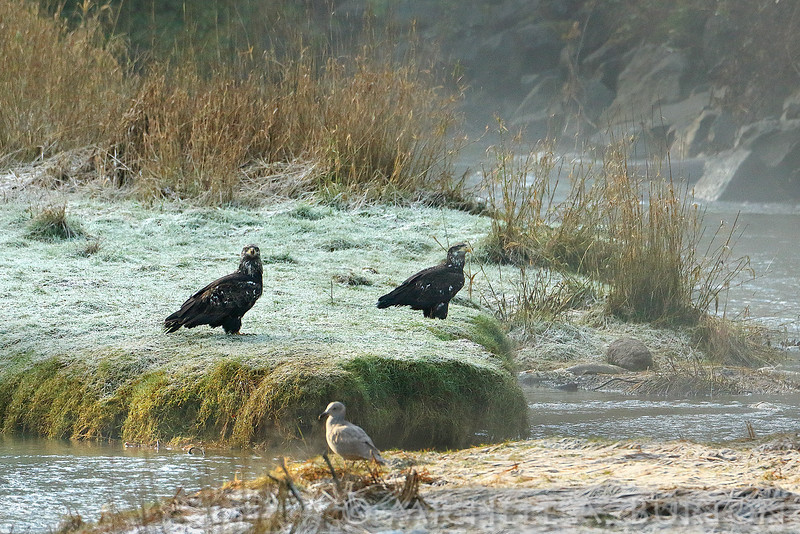 Two immature Bald Eagles stand near the edge of Perry Creek, looking for Chum salmon carcasses