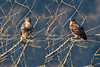 Northern Harrier sitting in tree at Nisqually National Wildlife Refuge - diptych