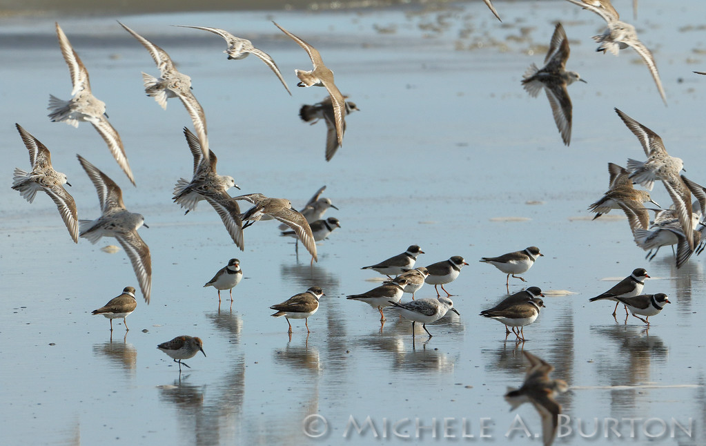 Plovers and Sandpipers at the beach during Spring migration
