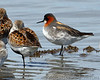 Red-necked Phalarope, Shorebird, Bottle Beach State Park, Beach, Migration, Washington, Grays Harbor, Bird, Phalaropus lobatus