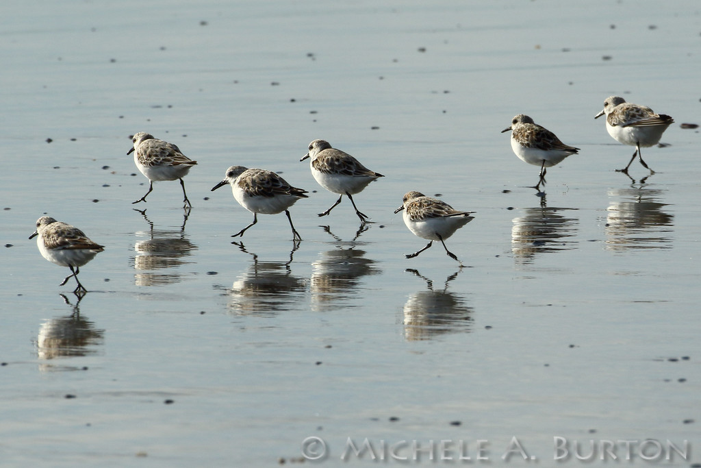 Sandpipers running along the beach at Twin Harbors State Park during Spring migration