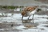 Western Sandpiper feeding in the mud of Grays Harbor, Washington during the northward Spring migration