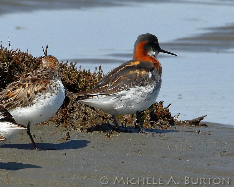Red-necked Phalarope, Shorebird, Bottle Beach State Park, Beach, Migration, Washington, Grays Harbor, Bird, Phalaropus lobatus