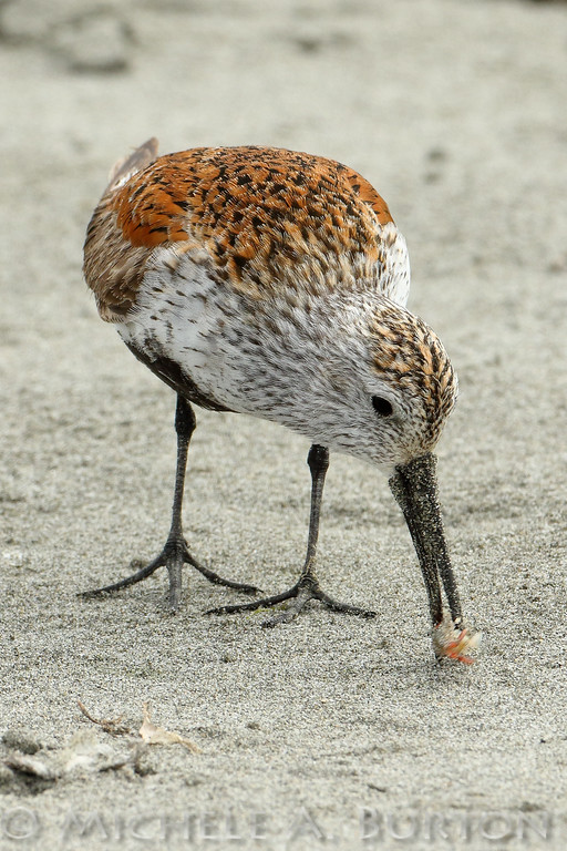 A Dunlin, feeding on the upper beach at Bottle Beach State Park, captures a sand shrimp and attempts to eat it