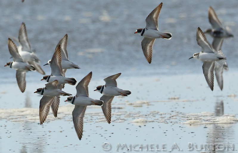 Semipalmated Plovers flying in formation during spring migration at Twin Harbors State Park, WA