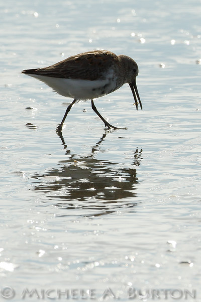Shorebird feeding on marine worms during Spring migration at Twin Harbors State Park, Washington