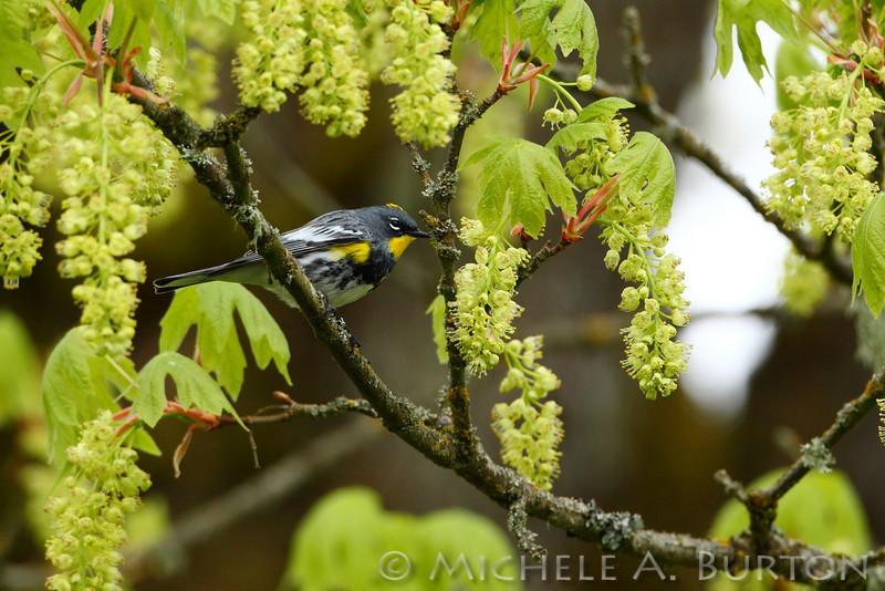 Audubon's warbler<br /> Yellow-rumped warbler