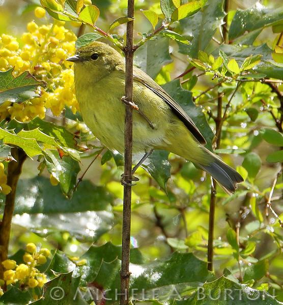 Orange-crowned warbler_2017-0414_LH0A5924___Michele_A_Burton_ TIF