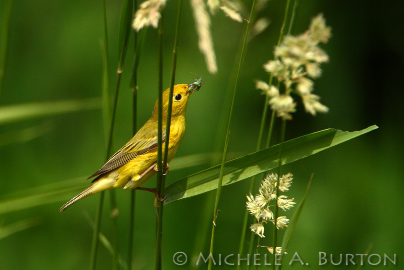 Yellow Warbler with insects