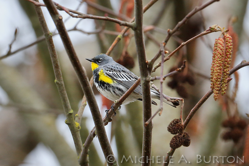 Yellow-rumped warbler sitting in an alder tree