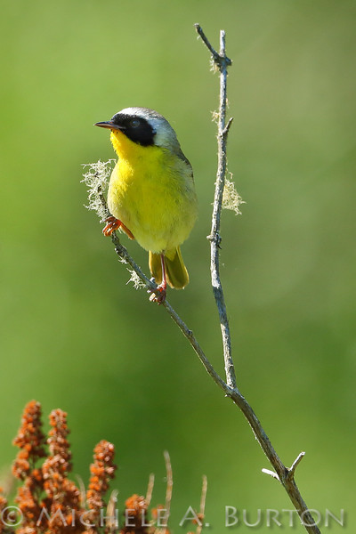 Male Common yellowthroat warbler sitting on a small snag at McLane Nature Trail