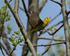 Male Wilson's warbler flies from one branch to another while feeding