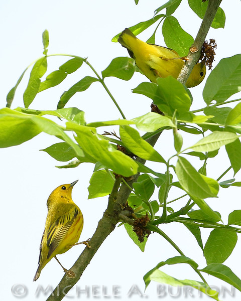 Yellow warblers foraging at Black Lake Meadows
