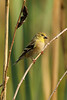 Willow goldfinch at Tumwater Historical Park in the Fall