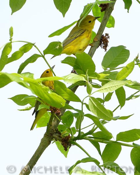 Yellow warblers foraging at Black Lake Meadows