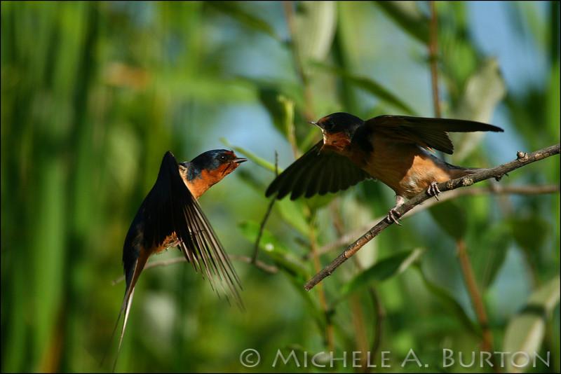 Adult barn swallow in flight feeding immature - image 1 of 3